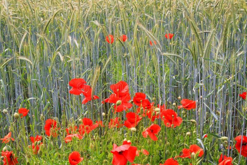 在麦田的开花的红色鸦片花罂粟属rhoeas在明亮的夏天阳光下-德国 库存图片