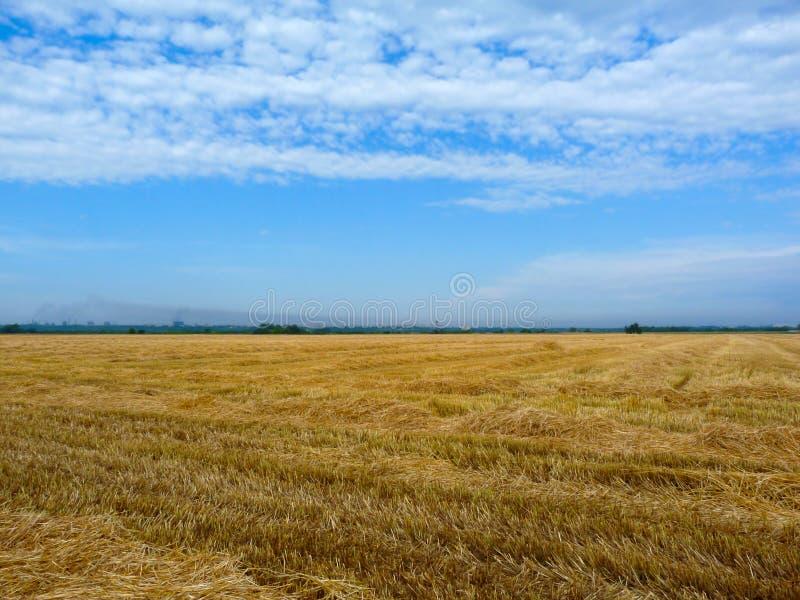 在麦田的新近地被收获的金黄黄色秸杆 农村夏天场面 库存照片