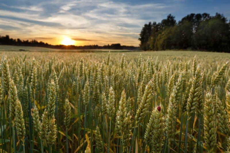 在麦田的日落在有瓢虫的芬兰 免版税库存图片