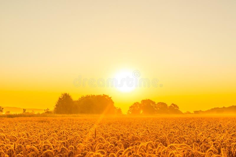 在麦田的早晨阳光 免版税库存图片