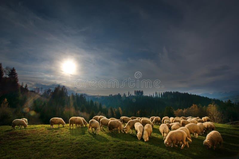 在麸皮,特兰西瓦尼亚,布拉索夫,有绵羊eatting的草的罗马尼亚的Autum风景在小山 免版税库存图片
