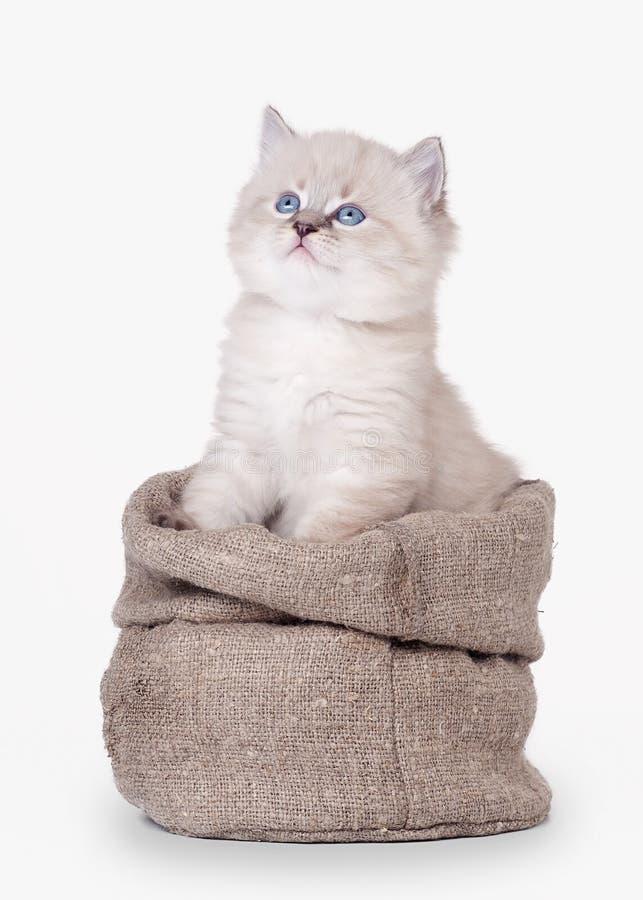 在麻袋布袋子的小的西伯利亚小猫 库存图片