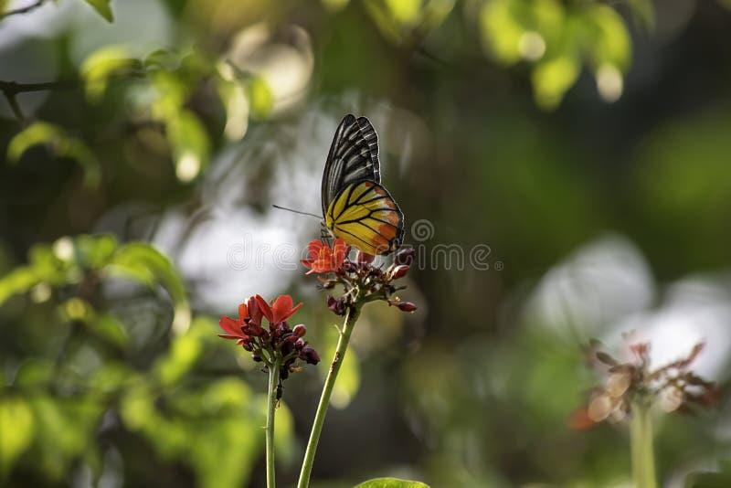 在麻风树属integerrima Jacq,明亮的红色花的蝴蝶在公园 库存图片