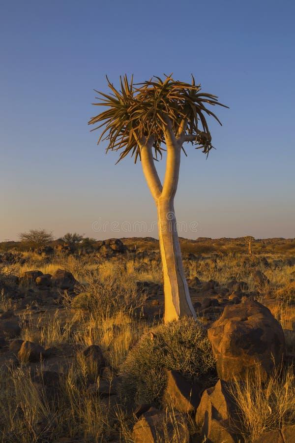 在黄昏光的孤立颤抖树 库存照片