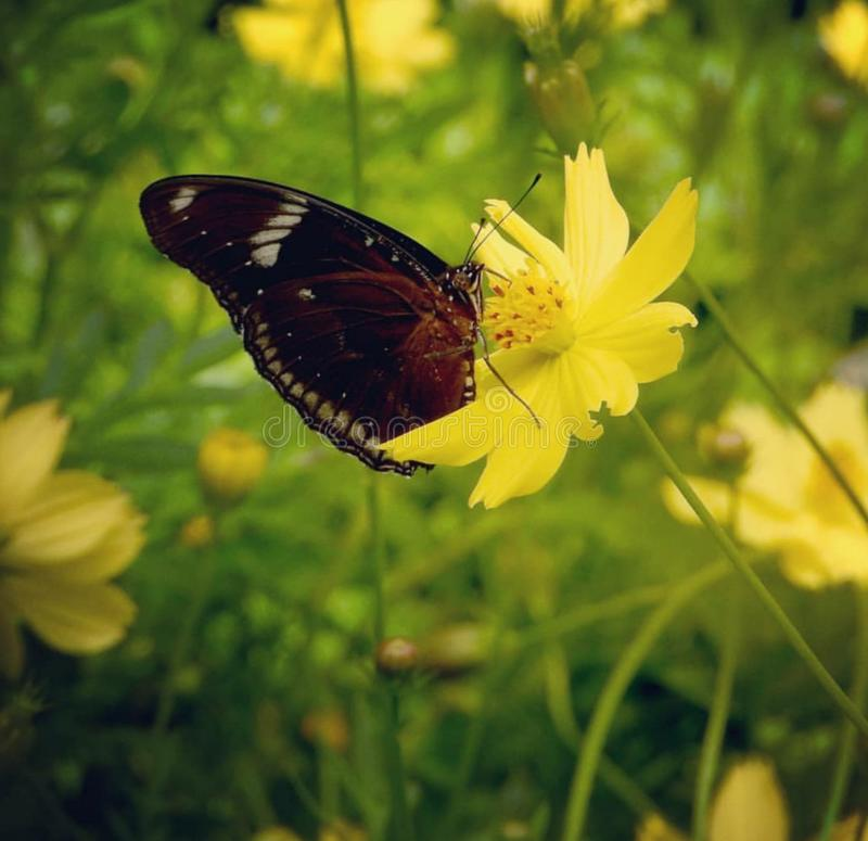 在黄水仙花花粉五谷2的Cethosia 库存图片