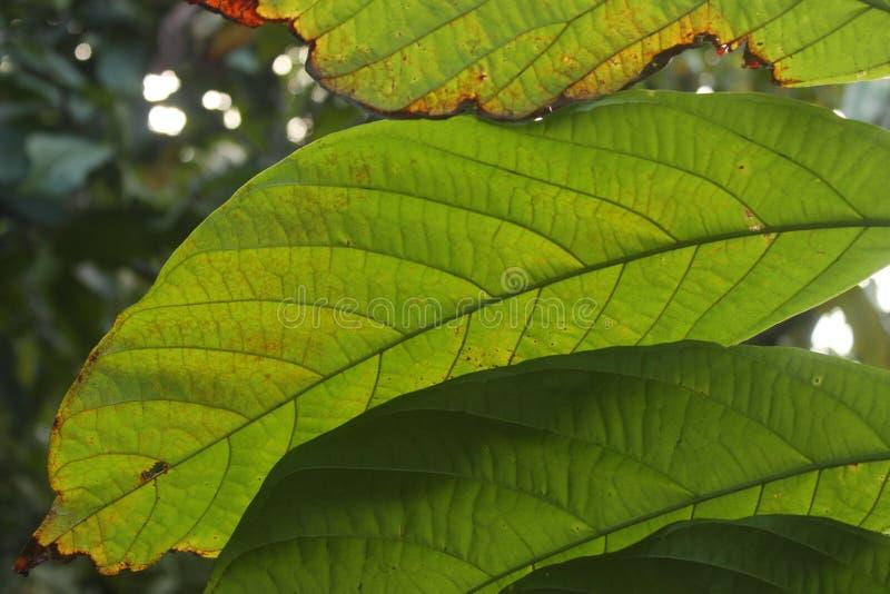 在黄色叶子后的光 库存照片