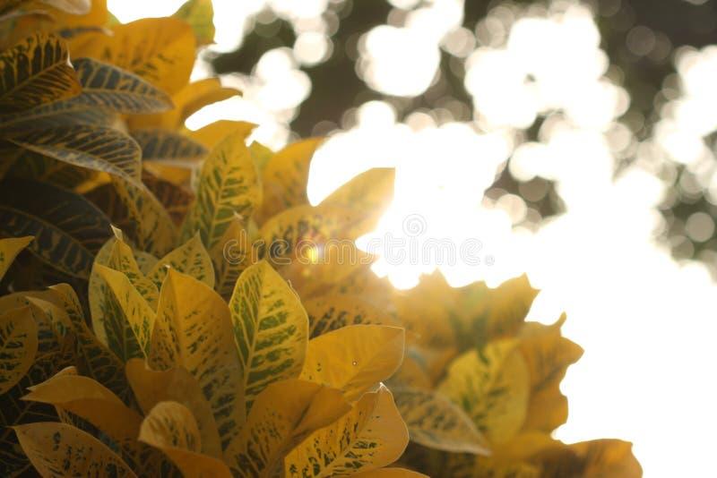 在黄色叶子后的光 库存图片