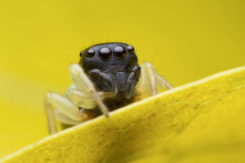 在黄色叶子的跳跃的蜘蛛 库存图片