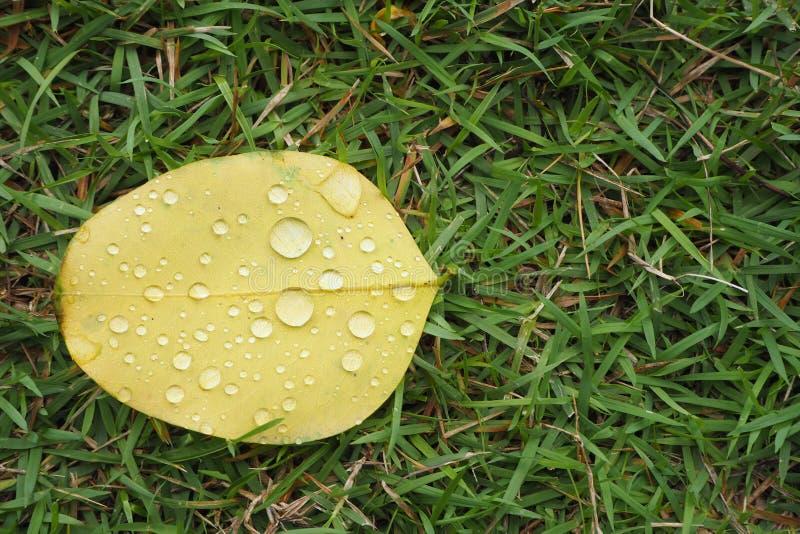 在黄色叶子的雨珠在公园 免版税库存照片