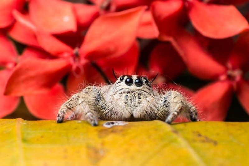 在黄色叶子红色花背景的跳跃的蜘蛛Hyllus 免版税库存图片