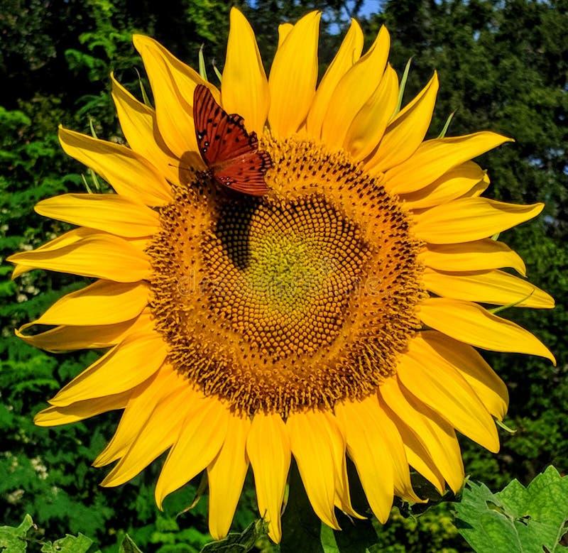 在黄色向日葵的蝴蝶着陆 库存照片