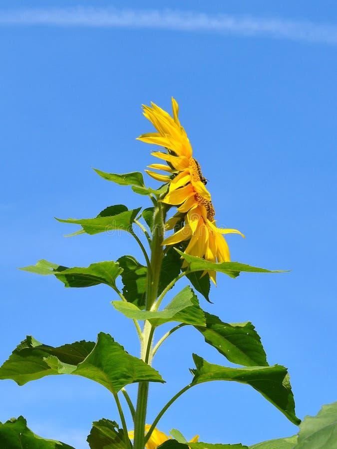 在黄色向日葵的黑脉金斑蝶在秋天天在Littleton,马萨诸塞,密德萨克斯郡,美国 新英格兰秋天 库存照片