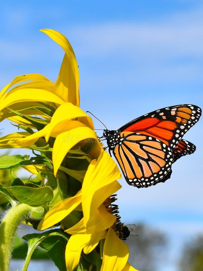 在黄色向日葵的黑脉金斑蝶在秋天天在Littleton,马萨诸塞,密德萨克斯郡,美国 新英格兰秋天 免版税图库摄影