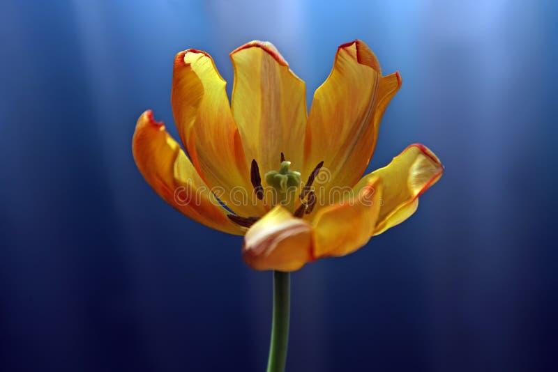 在黄色和橙色的郁金香在蓝色背景 库存照片