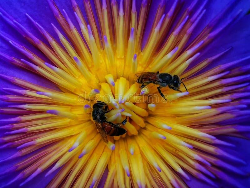 在黄色和紫色莲花背景的蜂 库存图片