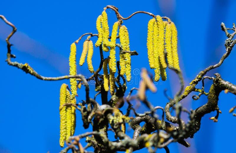 在黄色柔荑花的低角度视图在用老共同的榛树橙色地衣Xanthoria parietina报道的弯曲的光秃的分支  库存照片