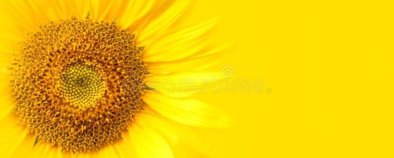 在黄色横幅宽背景宏指令照片的向日葵接近的细节 概念为夏天,太阳,阳光,暑假移动 免版税库存图片