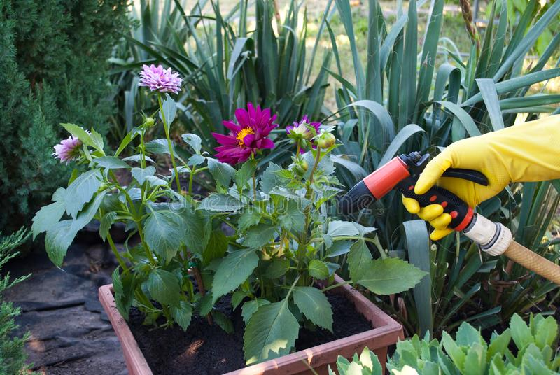 在黄色橡胶手套的手在花盆附近拿着浇灌的,春天工作在地面上,地面种植一个水管 免版税库存图片