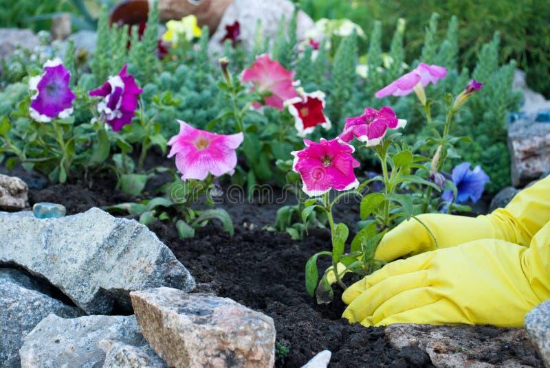 在黄色橡胶手套的手拿着一朵桃红色喇叭花花的树苗,在地面上的春天工作,松开种植 库存照片