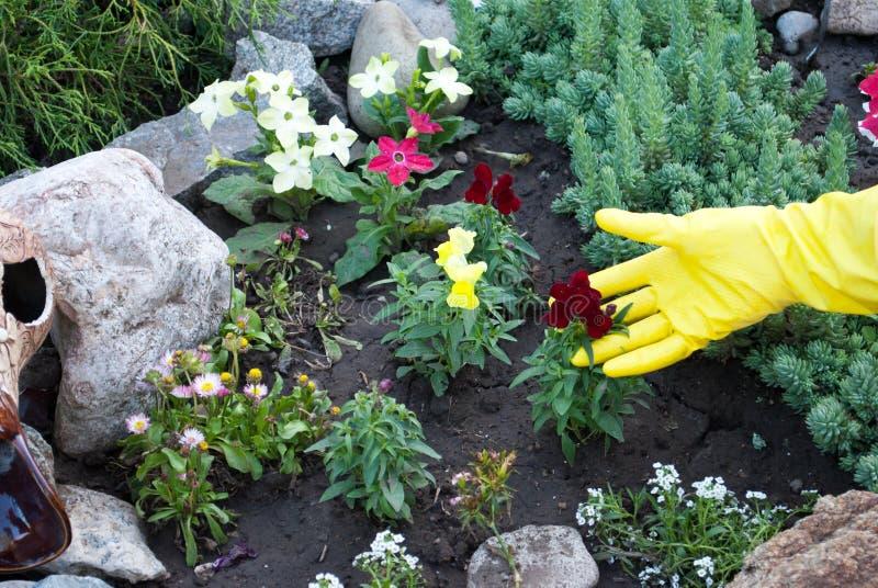 在黄色橡胶手套的手拿着花树苗,在地面地面上的春天工作,松开种植 库存图片