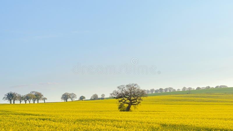 在黄色油籽种子油菜领域的橡树 库存照片