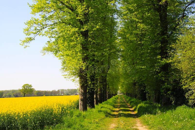 在黄色油菜籽领域与绿色树和农业道路的看法在荷兰农村风景在春天在奈梅亨附近- 免版税库存照片