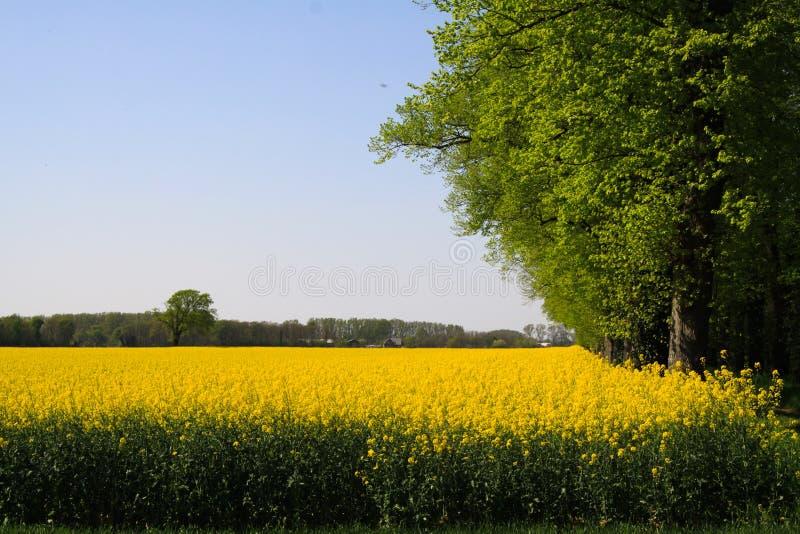 在黄色油菜籽领域的看法与在荷兰农村风景的绿色树在奈梅亨-荷兰附近的春天 免版税库存图片