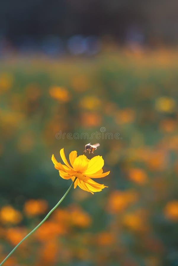 在黄色波斯菊花附近的蜂飞行 免版税库存图片
