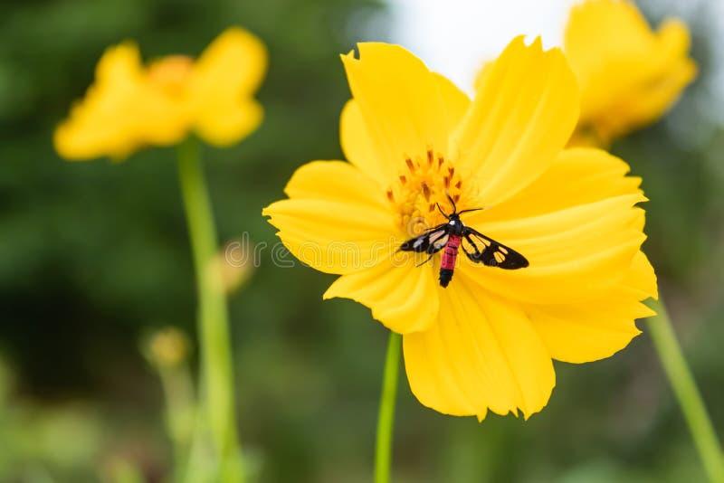 在黄色波斯菊sulphureus贾夫的黑昆虫 库存图片
