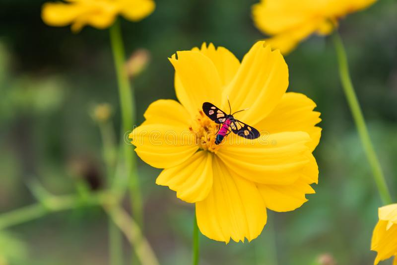 在黄色波斯菊sulphureus贾夫的黑昆虫 库存照片