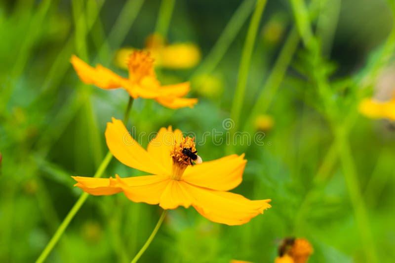 在黄色波斯菊sulphureus贾夫的黑臭虫开花 图库摄影