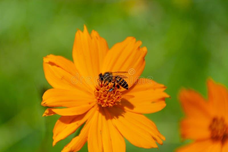 在黄色波斯菊sulphureus贾夫花的蜂 免版税图库摄影
