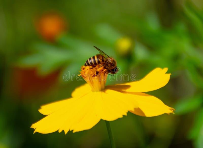 在黄色波斯菊sulphureus贾夫花的蜂 库存照片