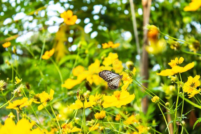 在黄色波斯菊sulphureus贾夫花的蝴蝶 图库摄影