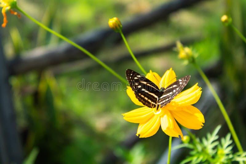 在黄色波斯菊sulphureus贾夫花的蝴蝶 免版税图库摄影