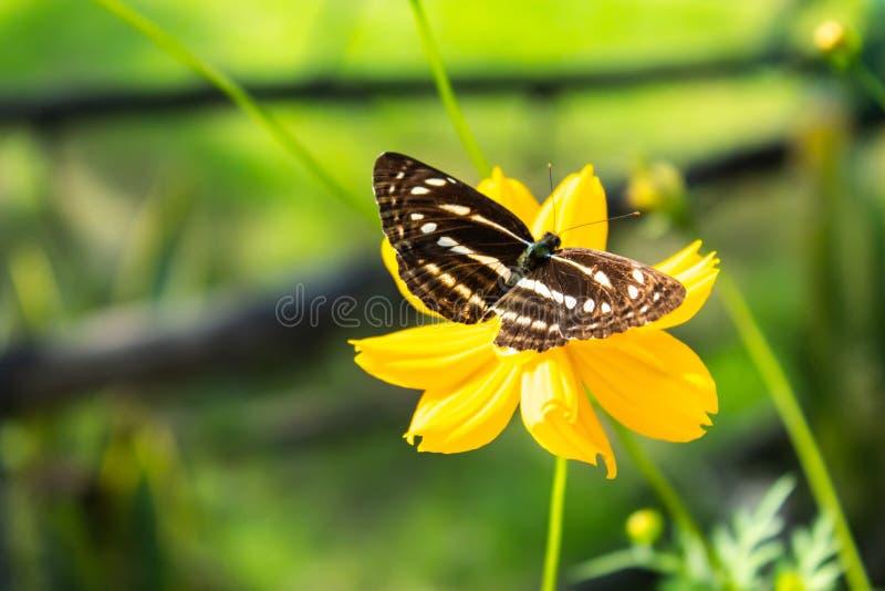 在黄色波斯菊sulphureus贾夫花的蝴蝶 免版税库存照片