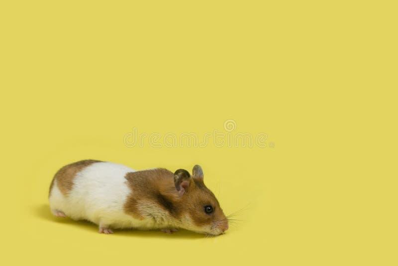 在黄色的背景仓鼠 库存图片