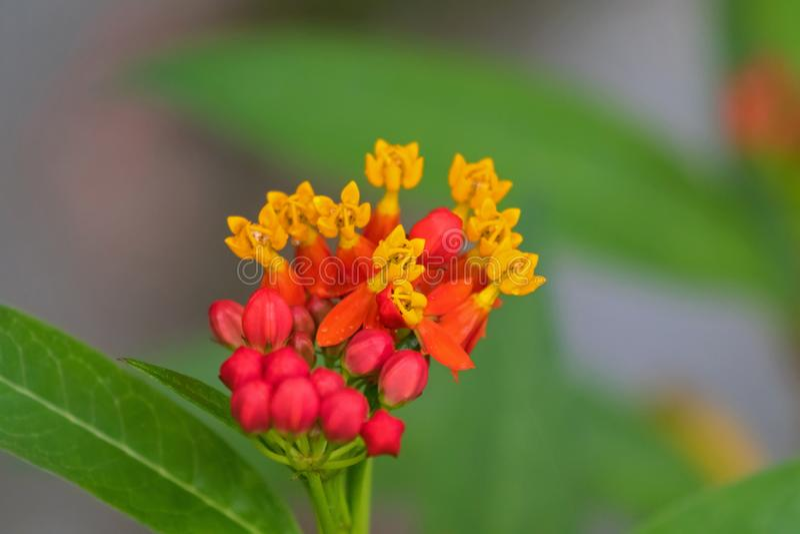在黄色红色桃红色bloodflower的特写镜头热带乳草花 免版税库存图片