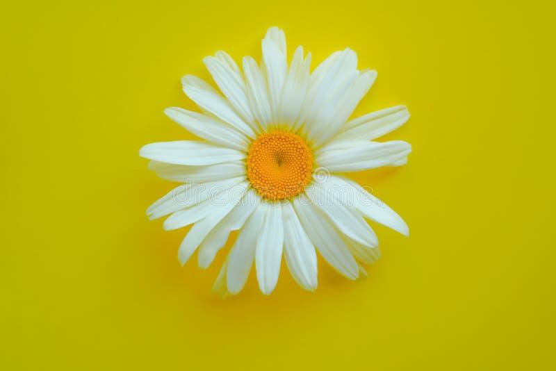 在黄色背景的大雏菊特写镜头 夏天的概念 免版税库存图片