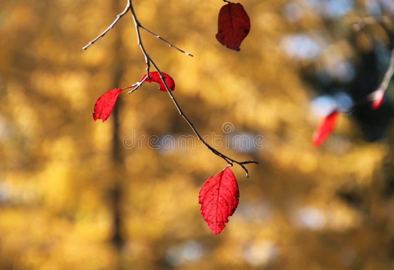 在黄色背景的红色叶子 免版税库存图片