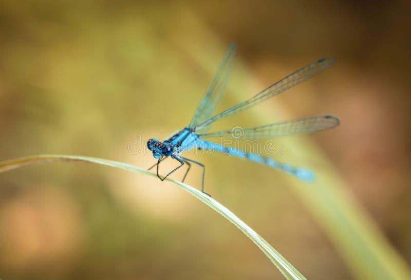 在黄色背景的蓝色蜻蜓 蜻蜓坐一片干燥草叶 织地不很细翼 明亮的夏日 库存照片
