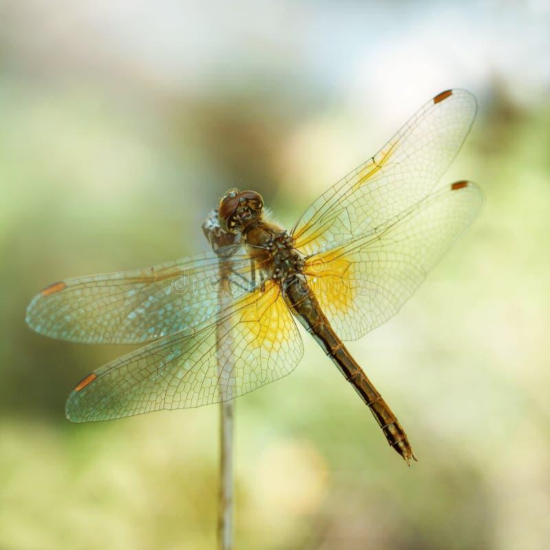 在黄色背景的蜻蜓,宏观 蜻蜓坐一片干燥草叶 织地不很细翼 明亮的夏日 库存照片
