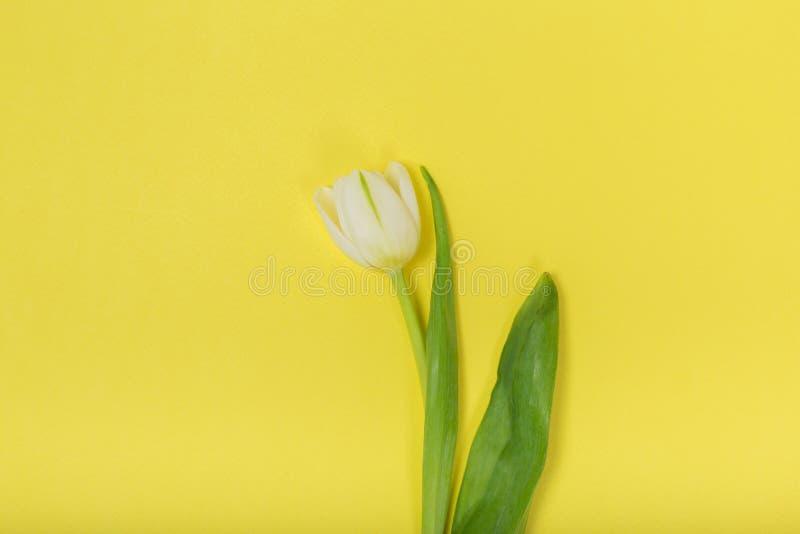 在黄色背景的郁金香 库存图片
