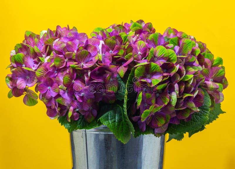 在黄色背景花卉背景的桃红色八仙花属特写镜头 库存图片