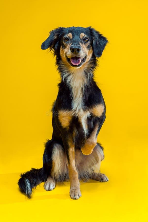 在黄色背景隔绝的博德牧羊犬画象 库存照片