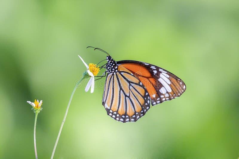 在黄色花的五颜六色的蝴蝶身分 免版税图库摄影