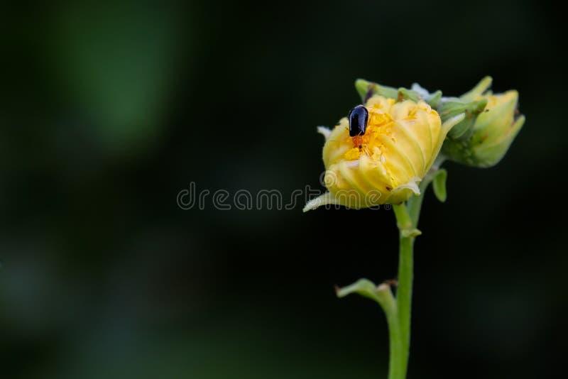 在黄色花的小臭虫 免版税图库摄影