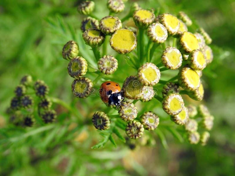在黄色花的美丽的红色瓢虫,立陶宛 免版税库存图片