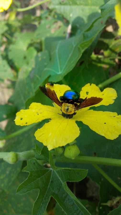在黄色花的臭虫 库存图片
