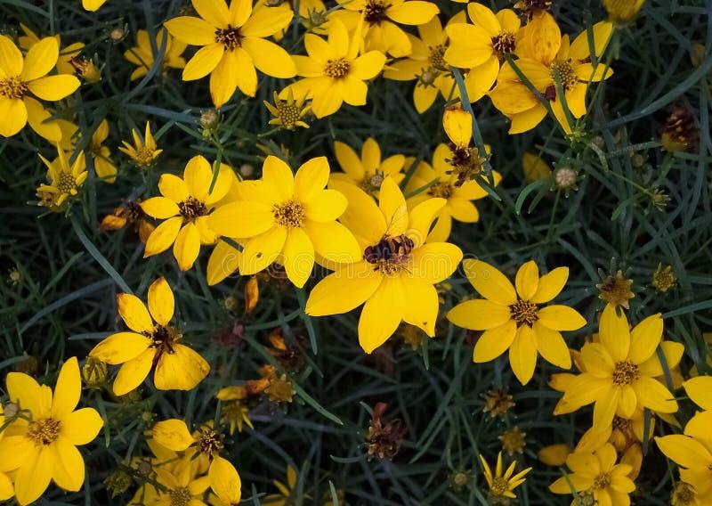 在黄色花的蜂有深绿背景 免版税库存照片